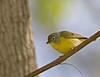 Nashvill Warbler