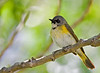 American Redstart (Female )