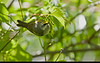Golden-winged Warbler ( female )