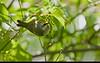 Golden-winged Warbler ( female )