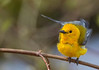 Wet Prothonotary Warbler