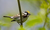 Chestnut-sidded Warbler