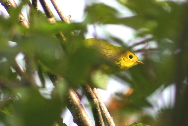 Wilsons Warbler (?)- Hartlen Pt. N.S. 09/20/05