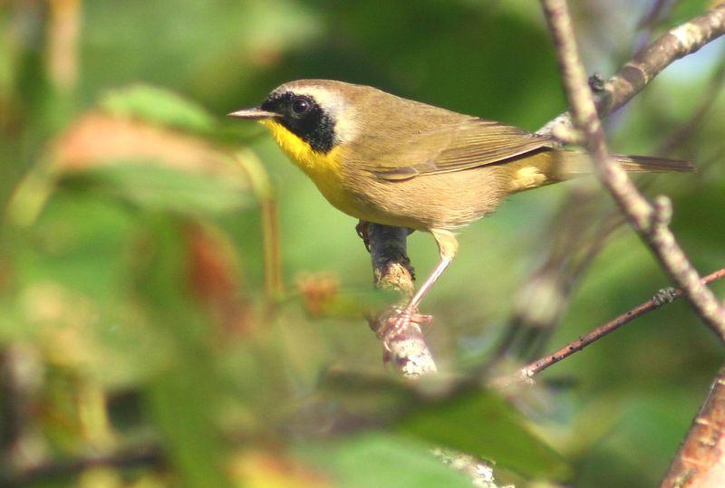 Common Yellowthroat - Hartlen Pt. N.S.  09/20/05