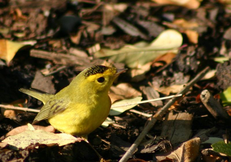 Wilson's Warbler(M) - Findlay Park,Dartmouth. 11/21/05