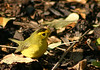 Wilson's Warbler(M) - Findlay Park,Dartmouth. 11/21/05