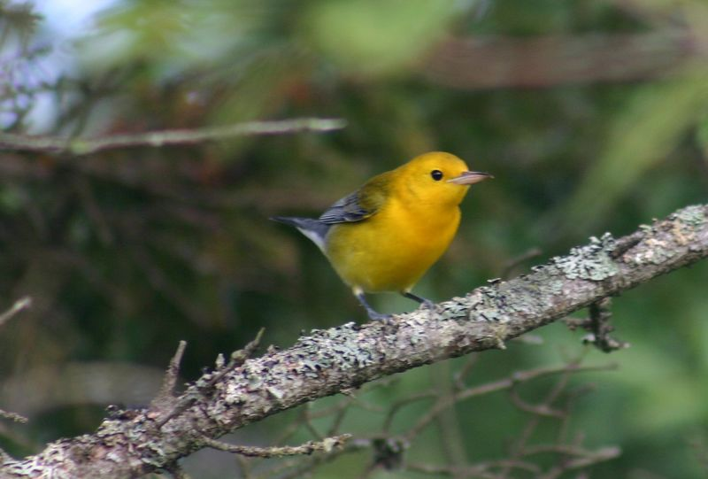 Prothonotary Warbler - Hartlen Pt. N.S. 09/20/05