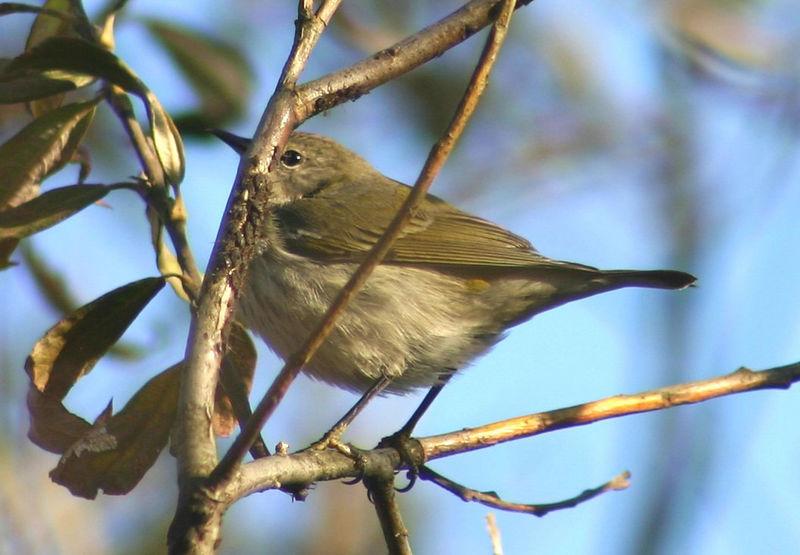 Cape May Warbler - Pt. Pleasant Park, HFX 11/27/05