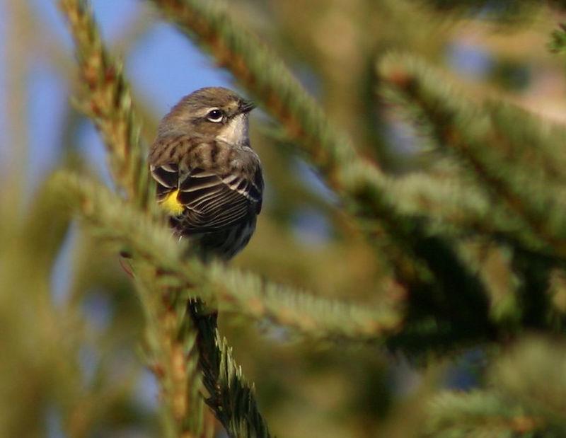 Yellow-rumped Warbler - Rainbow Haven 12/17/05