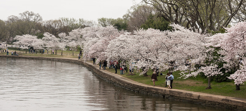 Cherry trees around the Tidal Basin