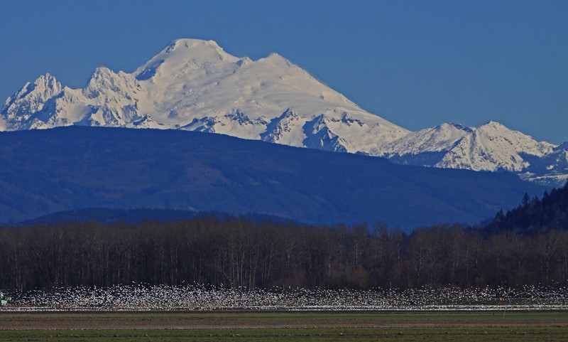 Snow Geese under Mr. Baker