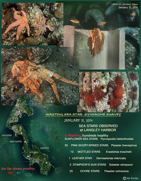 Wasting Sea Star Syndrome - Langley, Whidbey Island, January 31, 2013