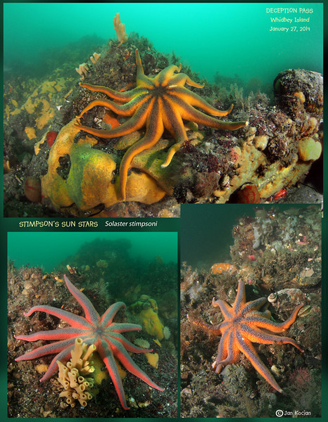 Wasting Sea Star Syndrome survey  - Deception Pass, Whidbey Island, January 27, 2013