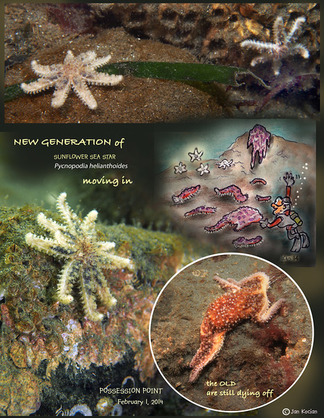 Wasting Sea Star Syndrome - Possession Point Fingers, Whidbey Island, February 1, 2013