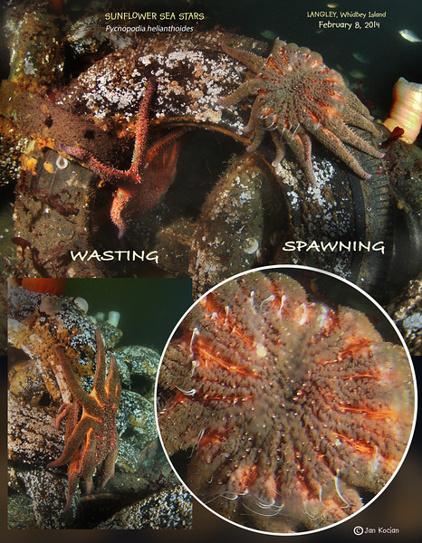 Wasting Sea Star Syndrome - Langley, Whidbey Island, February 8, 2013