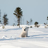 polar bear cub ready for play