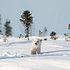 polar bear cub ready for play