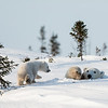 mother polar bear coming out to join cub