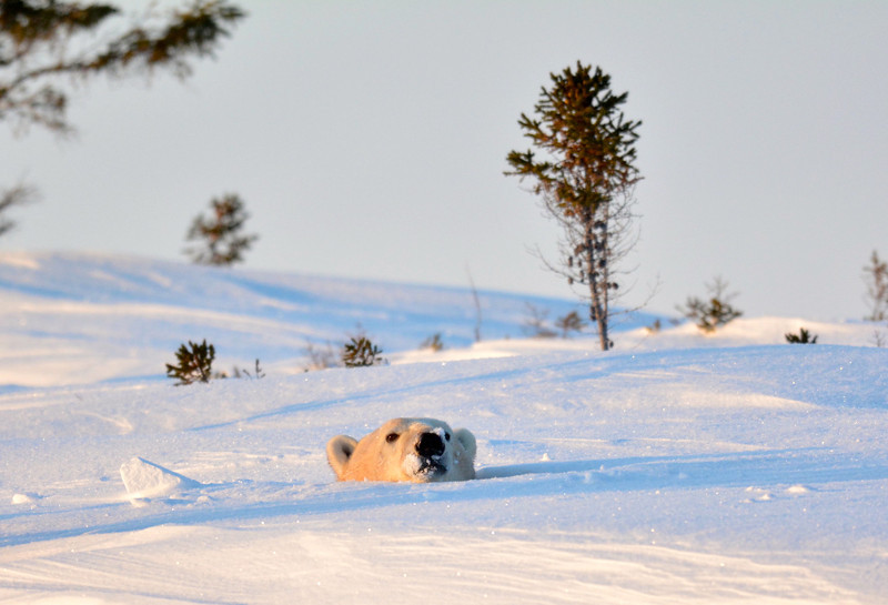then mother polar bear head popped up just as sun was setting