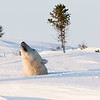 mother polar bear smelling for danger