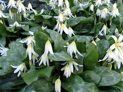 The Fawn lily is one such beautiful native plant. Others are Kinnikinnik, Deer fern, Saskatoon berry, Oregon grape and Red flowering currant.