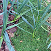 Mulching vegetable plants in dry weather with leaves, grass or straw keeps mositure in the beds.