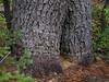 Western White Pine trunk