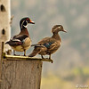 Male(left) and Female Wood Ducks on nesting box.