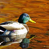 Male Mallard with fall trees reflecting color on the water.