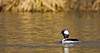 Bufflehead ( Male)