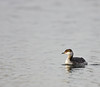 Horned Grebe (winter)
