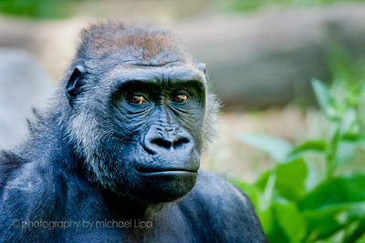 Looking into the eyes of this gorilla, we feel a sense of connection.  A subconscious sharing as if we were looking into another person's eyes.