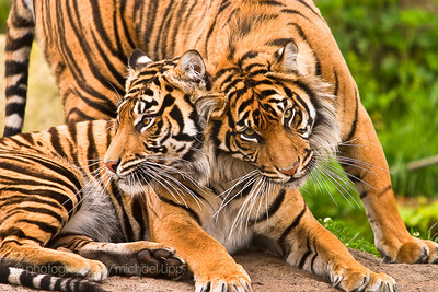 Love isn't just exclusive to humans as can be seen through these two tiger brothers feeling comfort from each other's presence.