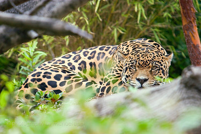 The jaguar is an immensely powerful animal, yet can be seen here totally at peace.