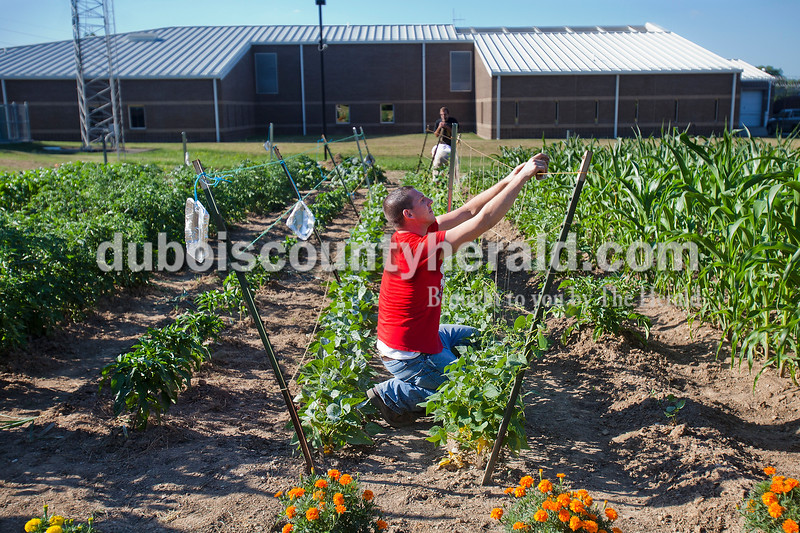 Rachel Mummey/The Herald<br /> Aaron Atkins of Birdseye added vertical strings to a plot of green beans to help them grow at the work release garden at the Jasper Community Corrections on Friday evening. The program allows inmates participating in the work release program to fulfill community service through gardening. The produce harvested is donated the the community food bank.
