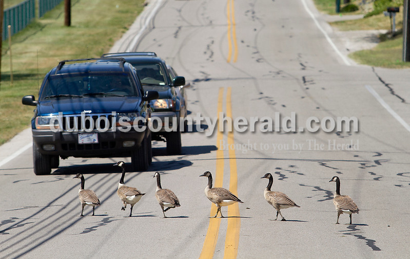 Brooke Stevens/The Herald<br /> A flock of geese blocked traffic while crossing North Mill Street in front of Camelot Inn Motel.