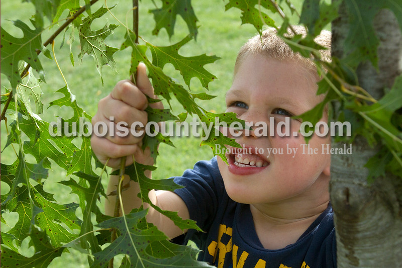 Olivia Corya/The Herald<br /> Conner Hochgesang of Ferdinand, 4, tugged on a tree at the Ferdinand Folk Festival on Saturday. His uncle brought him to the festival to see the music and fest activities, but said all Conner wanted to do was play in the woods.