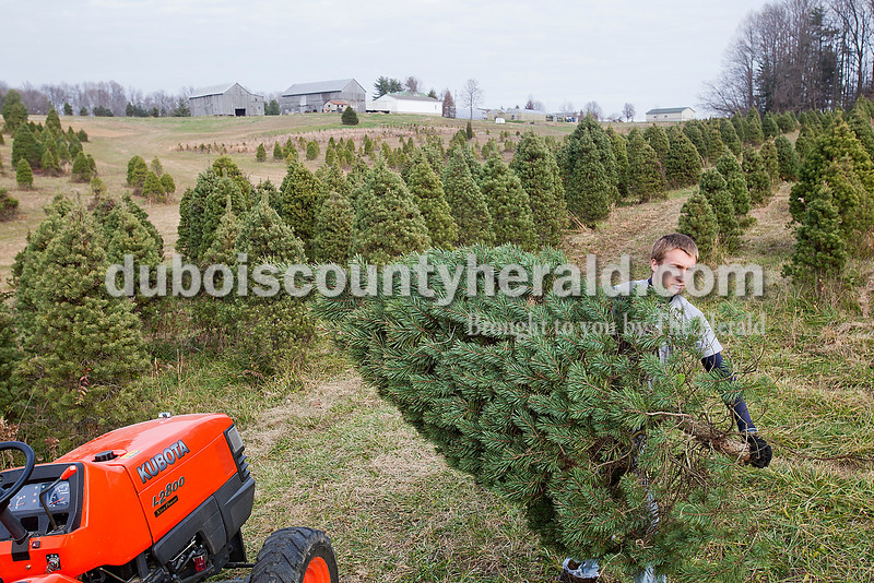 """Rachel Mummey/The Herald<br /> Victor Weyer of Ferdinand carried a freshly cut christmas tree on his uncle Jeff Weyer's Farm & Nursery in Ferdinand on Saturday. Weyer said although his whole sales have gradually decreased over the years, retail among families and individuals has stayed relatively the same. """"They come out here because they know they're cut fresh out here,"""" Weyer said of customers who come out to his nursery."""