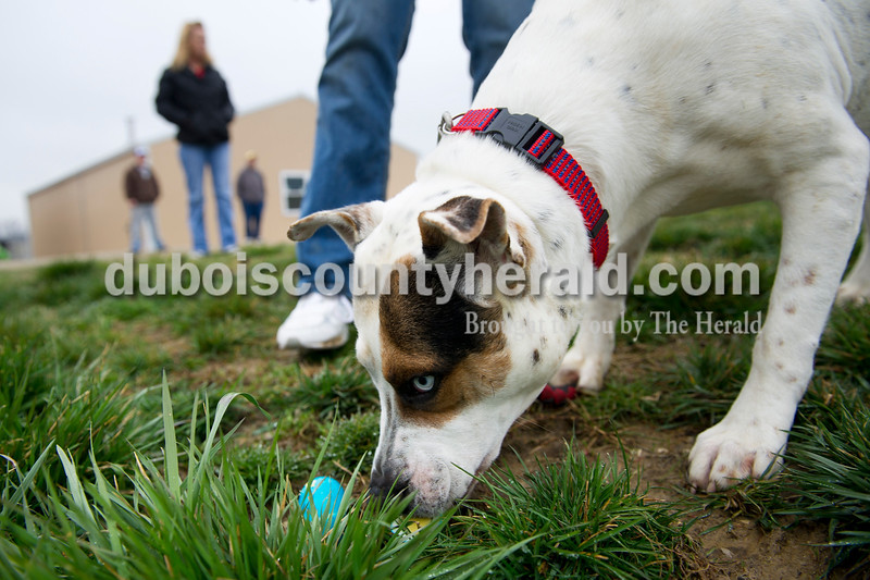 Matthew Busch/The Herald<br /> September the dog found a hard-boiled, blue Easter egg outside the Huntingburg Humane Society where the dogs were let out to hunt down the unusual treats Sunday morning. Judi Spencer who runs the society dyed the hard-boiled eggs with food coloring for Easter.