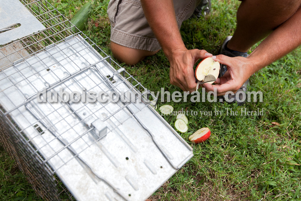 Dave Weatherwax/The Herald<br /> Greg Brescher of Jasper cut up an apple along with some cucumber to put in a live trap last Tuesday morning. He uses fresh vegetation to trap groundhogs and likes to use marshmallows to trap skunks.