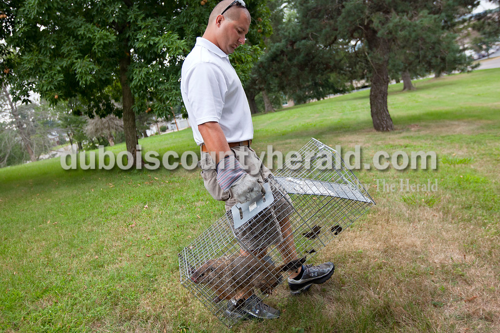 Dave Weatherwax/The Herald<br /> Greg Brescher of Jasper removed a trap containing a live groundhog from his neighbor's yard last Tuesday morning. The critter was the eighth groundhog he caught recently in the yard. Brescher started a nuisance wildlife removal business earlier this year called Critter Gitters. He specializes in the removal of various nuisance animals like groundhogs, raccoons and skunks.