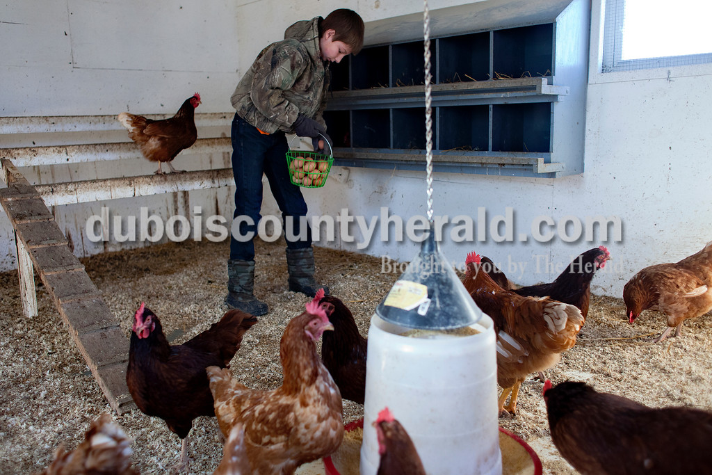 Dave Weatherwax/The Herald<br /> Dustin Luebbehusen of Ferdinand, 14, collected the eggs his hens had laid for him on Friday.