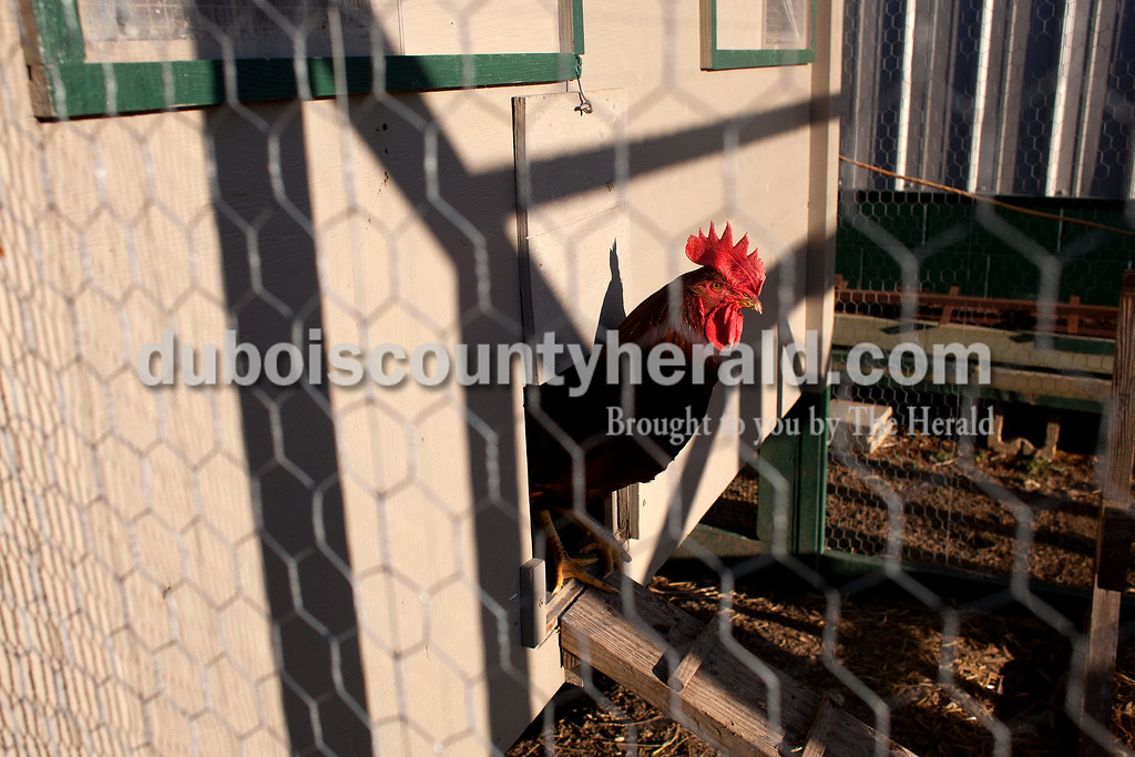 Dave Weatherwax/The Herald<br /> A rooster poked its head out of Dustin Luebbehusen's chicken coop on Friday. Dustin has three roosters and 42 hens.
