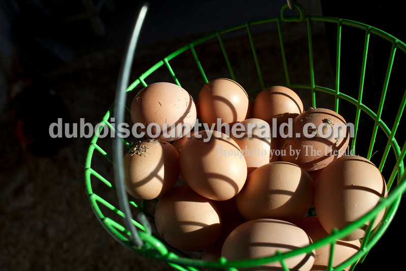 Dave Weatherwax/The Herald<br /> Dustin Luebbehusen of Ferdinand, 14, collected the eggs his hens had laid on Friday.
