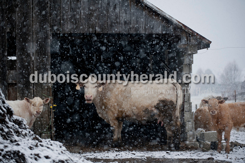 Carolyn Van Houten/The Herald<br /> Cows stood in the snow next to a barn on S. Kluemper Rd. in Jasper on Tuesday morning.