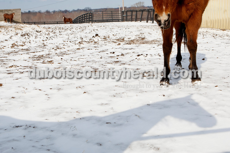 Horses at Freedom Reins Therapeutic Riding Center in Jasper ate hay and hung out in the sun and snow on Tuesday morning after a blizzard. Heather Rousseau/The Herald