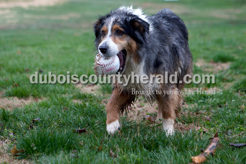 "Heather Rousseau/The Herald<br /> Lilly, an Australian shepherd, returned the ball to one of her owners, Christian Leinenbach, 18,  of Jasper, not pictured, while playing catch in their front yard on Monday. Leinenbach said that after being in school all day he prefers to be outside, but he wishes the nicer weather would stay. ""Lilly likes the weather though,"" he added about the rainy day."