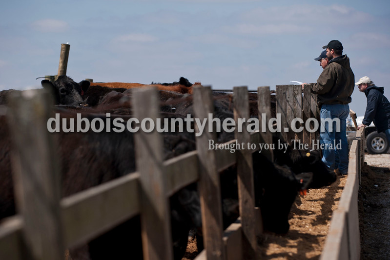 Carolyn Van Houten/The Herald<br /> Dr. Mark Bickers and Alex Paris, both of Floyds Knobs, looked at the two-year-old heifers for sale during J&D Kerstiens Gelbvieh Going to Grass Bull Sale in Huntingburg on Saturday.  They auctioned 27 bulls during the sale.