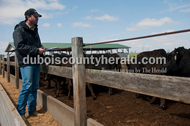Carolyn Van Houten/The Herald<br /> Jason Tower of Dubois looked at the middle-aged heifers for sale during J&D Kerstiens Gelbvieh Going to Grass Bull Sale in Huntingburg on Saturday.  They auctioned 100 head of cattle during the sale.