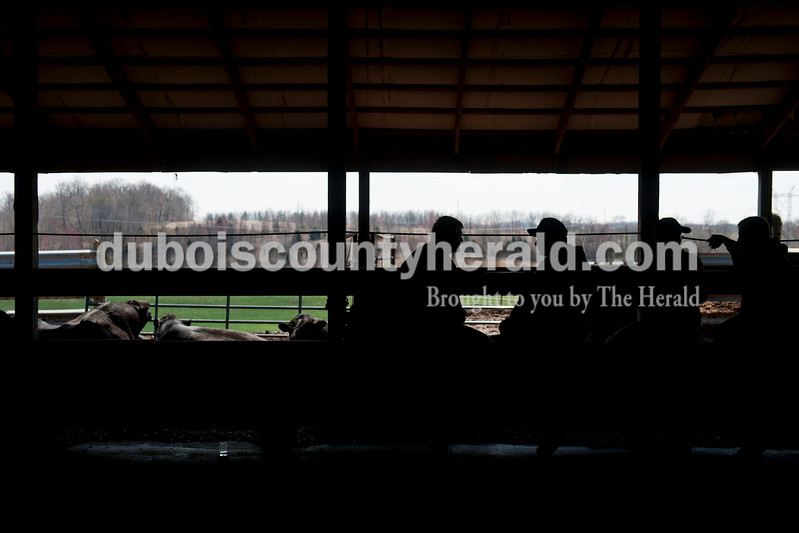 Carolyn Van Houten/The Herald<br /> The bulls that were to be auctioned laid in the sun while potential buyers talked during J&D Kerstiens Gelbvieh Going to Grass Bull Sale in Huntingburg on Saturday.  They auctioned 27 bulls during the sale.
